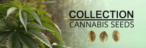 cannabis-seeds-COLLECTION